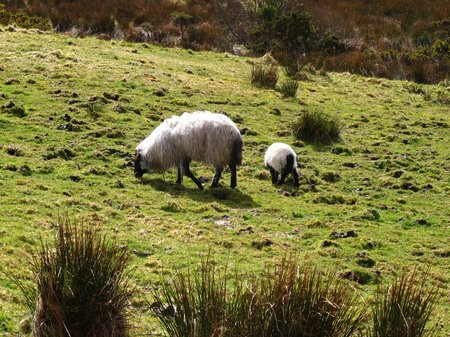 connemara-sheep