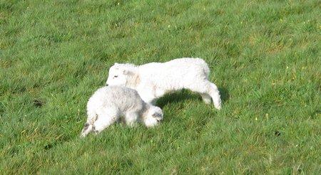 connemara-lambs