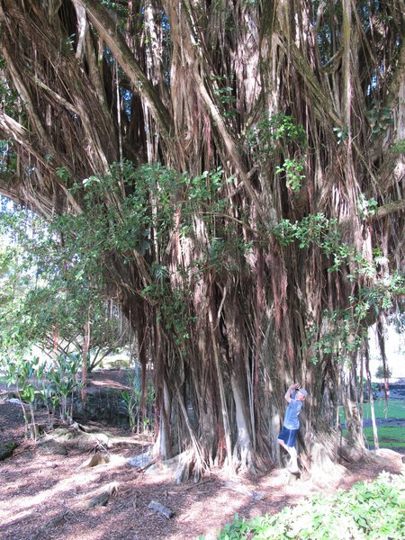 banyan-trees-hilo-hawaii