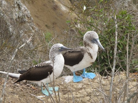 isla-de-la-plata-blue-footed-boobies