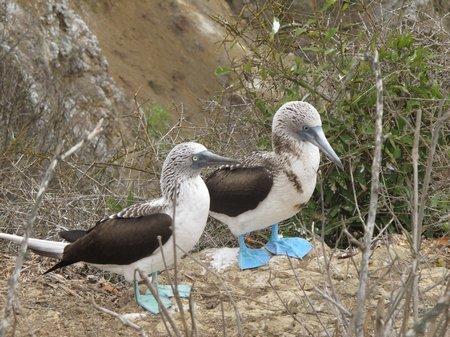 isla-de-la-plata-blue-footed-boobies