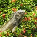 Ecuador-Family-Iguana-Guayaquil